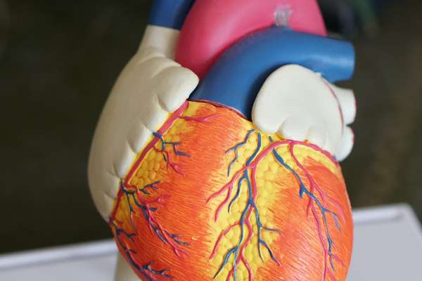 Plastic Model of Human Heart
