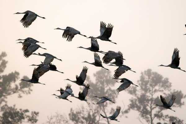 A group of sandhill cranes takes flight over Sandhill Farm