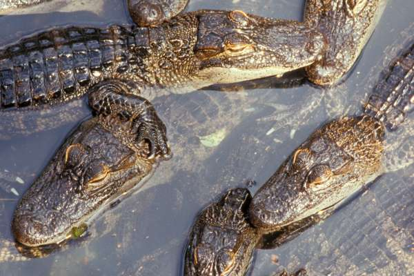 A group of gators in the water